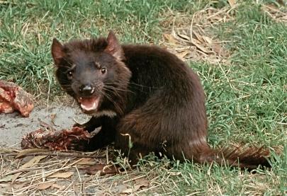 Captive Tasmanian devil