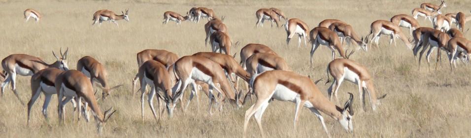 Springbok herd, Kalahari