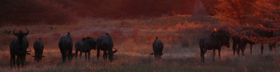 Wildebeest at sunset, Zambia