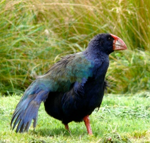 Captive-bred takahe, NZ