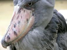 Shoebill close-up
