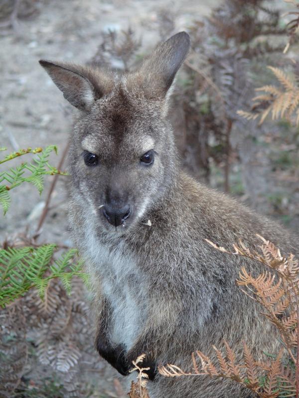 Bennett's wallaby, Tasmania