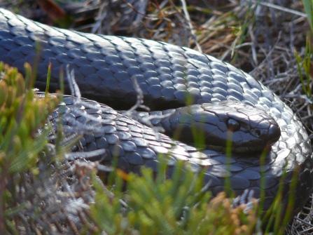 King snake, Tasmania