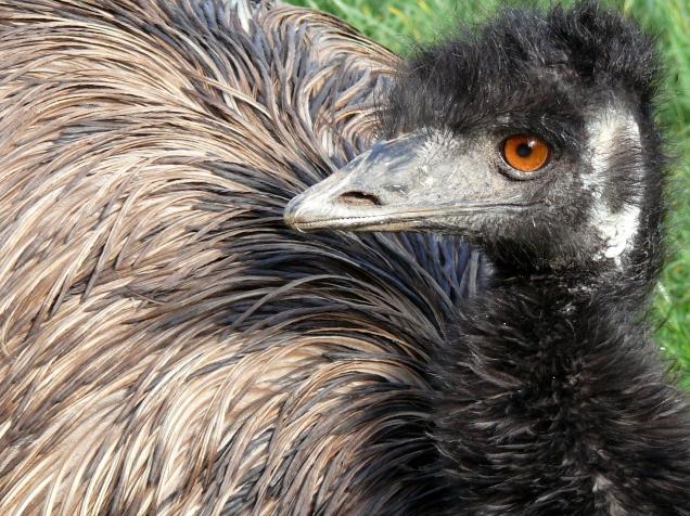 Captive emu