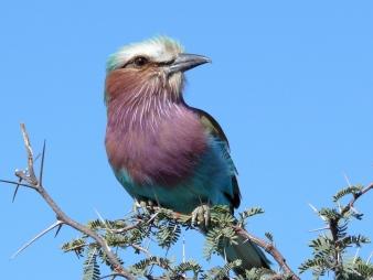 Lilac-breasted roller, Kalahari