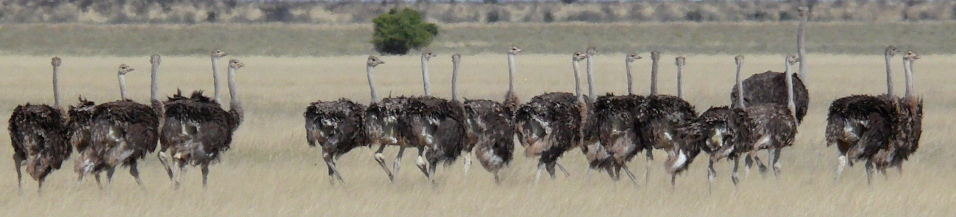 Kalahari ostriches