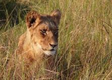 Lion in wait