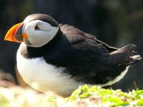 Backlit puffin, Treshnish Isles