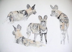 African wild dogs by Tim Knight