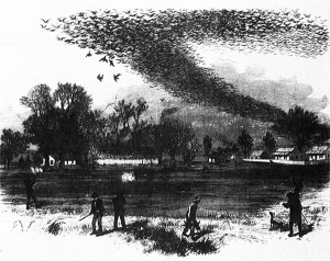 flock-passenger-pigeon